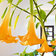 Stock Photo: Blooming flower - datura