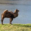Stock Photo: Camel in zoological garden