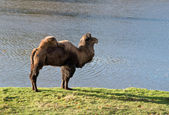 Camel in zoological garden — Stock Photo