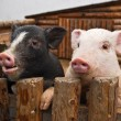 Two pigs — Stock Photo #34418433