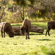 Stock Photo: Buffalos