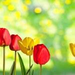 Tulips — Stock Photo #40228881
