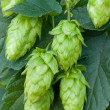 Hop cones — Stock Photo #40296203