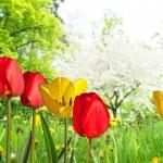 Tulips — Stock Photo #40360497