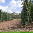 Hop garden — Stock Photo #40595943