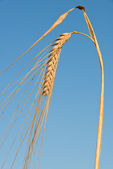 Detail of barley — Stock Photo
