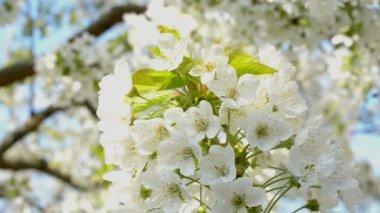 Flor de cerezo — Vídeo de Stock