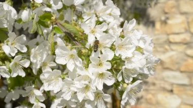 Cherry blossom with bee — Stockvideo