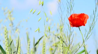 Detail of meadow with field poppy — Stock Video