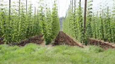 Hop garden in June — Stock Video
