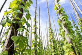 Traditional hop garden — Stock Photo