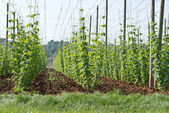 Hop garden in June — Stock Photo