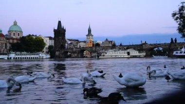 Swans On The Vltava River In Prague At Dusk — Stock Video