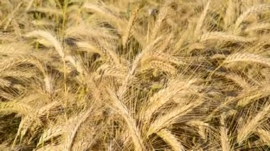 Detail of wheat field in the breeze — Stockvideo