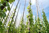 Traditional hop garden — Stock Photo