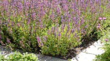Salvia in the garden — Stock Video