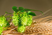 Hop Cones With Barley — Stock Photo