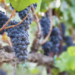 Lush, Ripe Wine Grapes on Vine — Stock Photo #15950681
