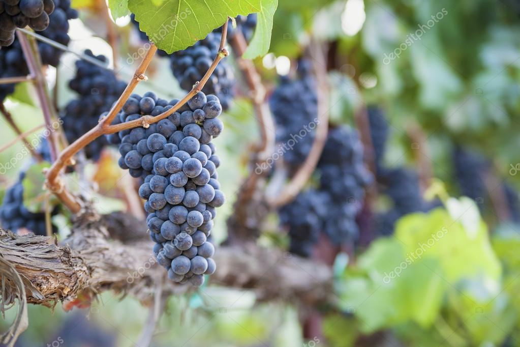 Lush, Ripe Wine Grapes on the Vine near Napa Valley, California — Stock Photo #15950681