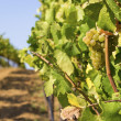 Lush, Ripe Wine Grapes on the Vine — Stock Photo #17592601