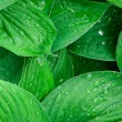 Stock Photo: Green wet leaves background