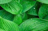Green wet leaves background — Stock Photo