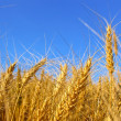 Stock Photo: Gold ears of wheat
