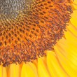 Central part of sunflower — Stock Photo #25465479