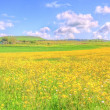 Landscape yellow flowers field under blue sky in spring — Stock Photo