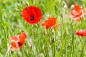 Close-up of one red poppy — Stock Photo