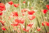 Green grass and red poppies — Stock Photo