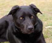 Australian working dog black kelpie pure breed — Stock Photo