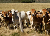 Australian brahma beef cattle line along a fence — Stock Photo