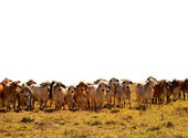 Beef Cattle Herd of brahman cows isolated background — Stock Photo