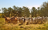 Australia cattle ranch Australian brahma beef cows — Stock Photo