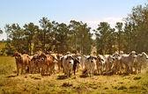 Rancho de gado da austrália vacas de carne australiana brahma — Foto Stock
