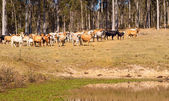 Australian beef cattle near water dam — Stock Photo