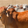 Australian beef herd brown brahman cattle live animals - Stock Photo