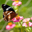 Australian butterfly Common eggfly live species — Stock Photo