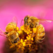 Stock Photo: Honey bees live insects pollinate pink flower