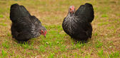 Live Animals free range chicken bantam hens — Stock Photo
