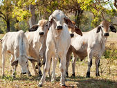 Young Brahman herd on ranch Australian beef cattle — Foto Stock