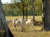 Australian cattle ranch pastoral farm young brahman bulls — Foto Stock