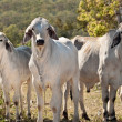 Brahman cow herd on ranch Australian beef cattle meat industry - Stock Photo