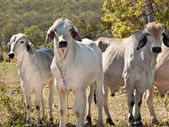 Brahman cow herd on ranch Australian beef cattle meat industry — Stock Photo