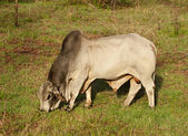 Brahman bull australian beef cattle — Stock Photo