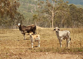 Beef Cattle cow heifer and calf — Stock Photo