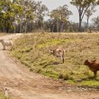 Australian rural country road scene — Stock Photo