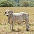 Young grey brahma cow on cattle ranch — Stock Photo