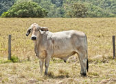 Young grey brahma cow on cattle ranch — Foto Stock